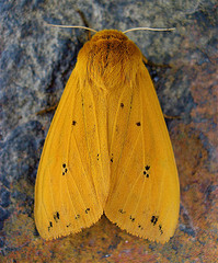 Orange fuzzy moth - cybernetic status uncertain
