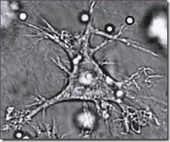 """Dendritic_cell: A screen clip from a video included in the journal article """"Environmental Dimensionality Controls the Interaction of Phagocytes with the Pathogenic Fungi Aspergillus fumigatus and Candida albicans"""""""
