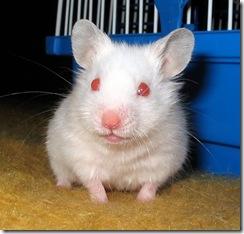 Pink-eyed white hamster