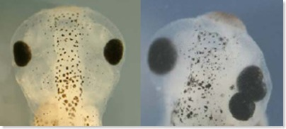 Three-eyed Tadpole