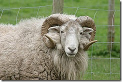 Ram with curly horns