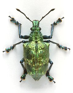 Lamprocyphus augustus - photonic weevil