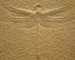 A Dragonfly Fossil