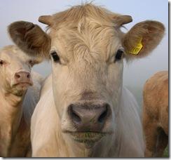 644px-Cow_portrait