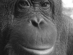 equal rights for great apes Why did god create apes with human features by karin viet and darius viet on october 29, 2010 last featured june 13, 2015  should animals have equal rights.