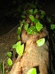 leafcutter ants on the job