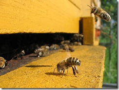 799px-Honeybee-cooling_cropped