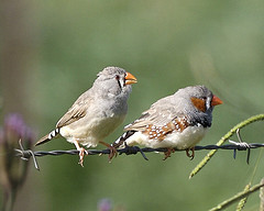 pair of Australian zebra finches