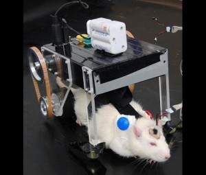 Rat with brain-controlled cybercart upgrades